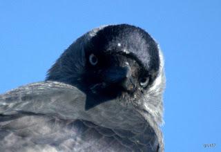 Photo: Галка, Eurasian Jackdaw (Corvus monedula), Салоники