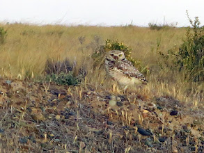 Photo: Burrowing owl