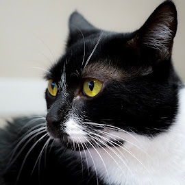 Miss Cora by Ashley Ellis - Animals - Cats Portraits ( whiskers, tuxedo, cat, portrait, eyes,  )