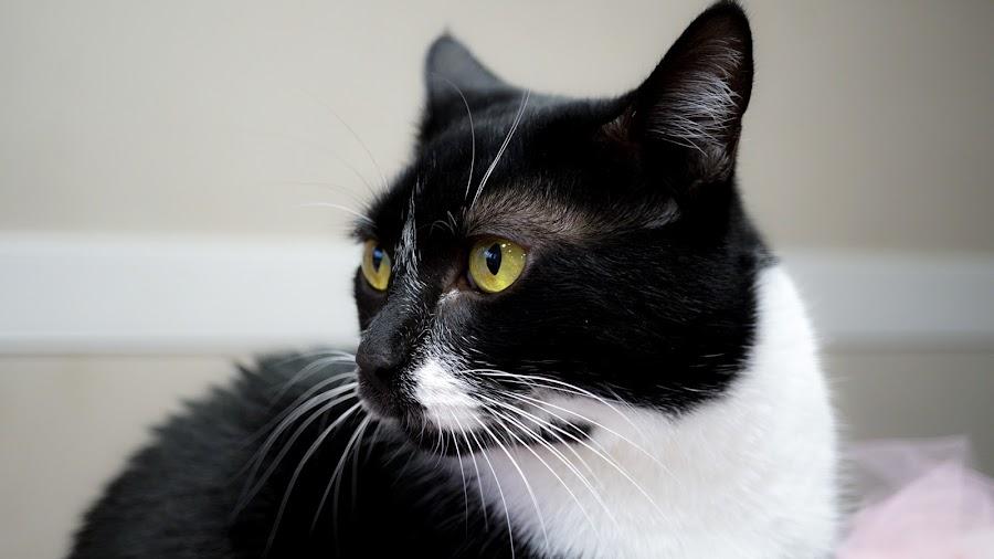 Miss Cora by Ashley Ellis - Animals - Cats Portraits ( whiskers, tuxedo, cat, portrait, eyes,  )