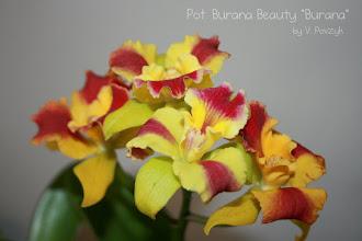 Photo: Pot. Burana Beauty `Burana`