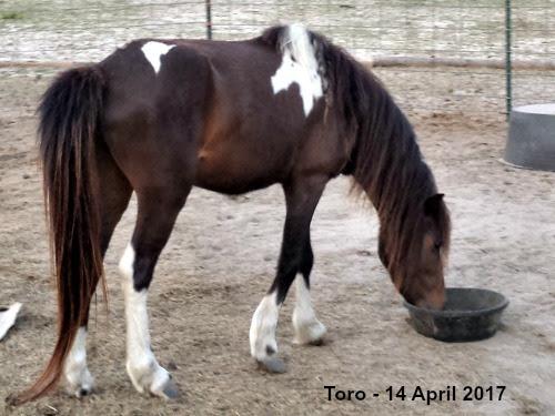 LP Painted Toro - 2011 stallion (WF Action Jackson x Magic Place Resida)