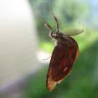 Rusty tussock moth or vapourer/Кистехвост обыкновенный