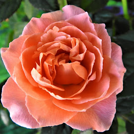 Mini Rose by Carol Leynard - Flowers Single Flower ( plant, mini rose, rose, potted flower, flower )