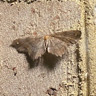 Esther moth