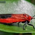 Day flying red moth.