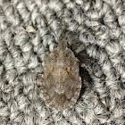 Four-humped Stink Bug