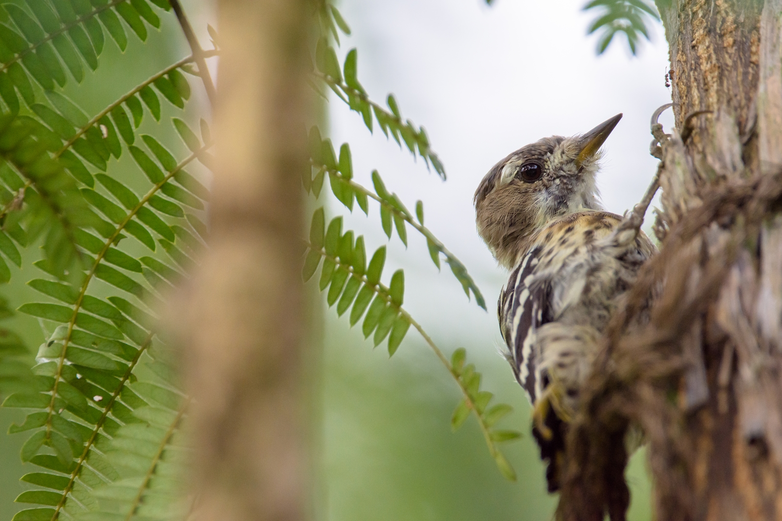 Photo: 朝活 Morning activities.  森に光が入り始める 待っていたとばかりに 朝ごはん探し みんなとっても一生懸命  Japanese Pygmy Woodpecker. (コゲラ)  #birdphotography #birds  #cooljapan #kawaii  #nikon #sigma   Nikon D7200 SIGMA 150-600mm F5-6.3 DG OS HSM Contemporary