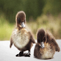 Ducklings Live Wallpaper icon