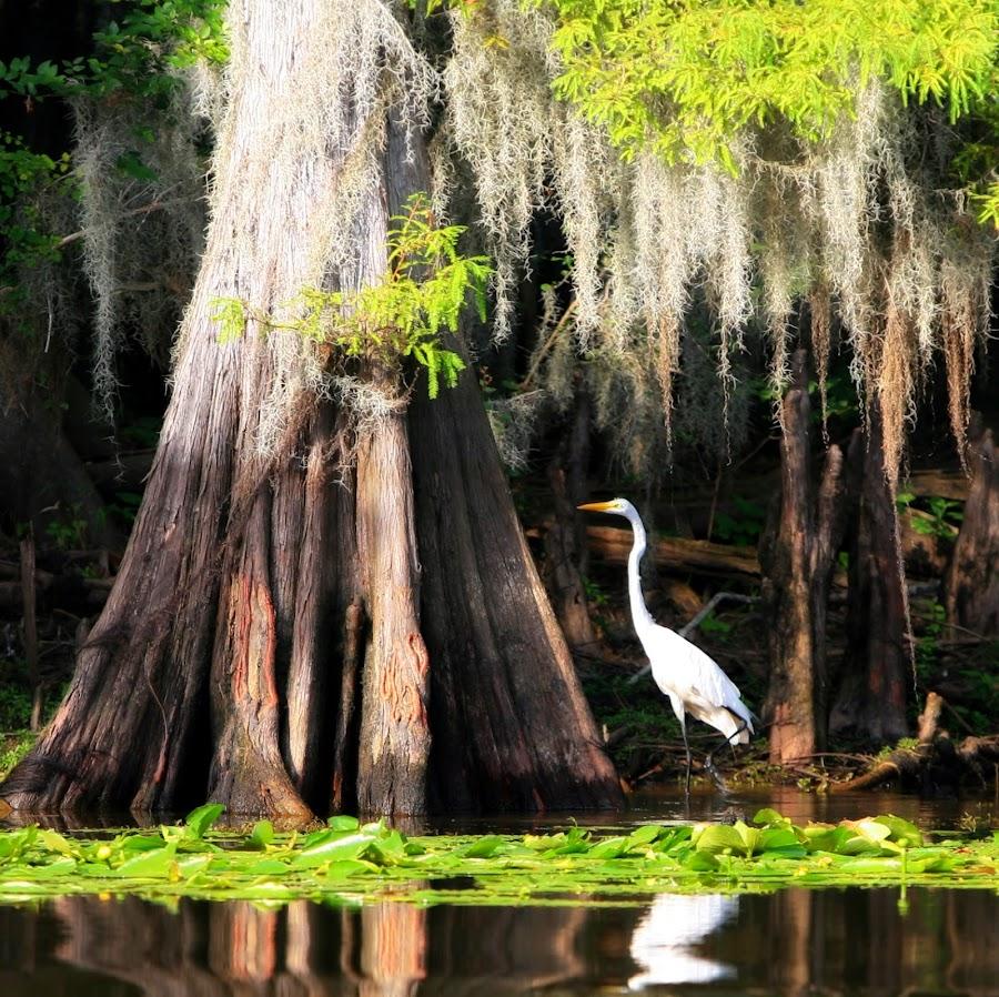 Lurking Bird by Paul Keith - Animals Birds ( reflection, flora, waterscape, white bird, cypress, spanish moss, animal,  )