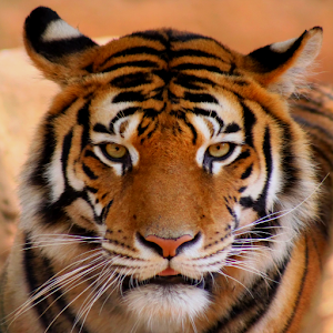 Tiger Sound | Free Sound Effects | Animal Sounds