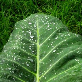 water in taro leaves by Jumari Haryadi - Nature Up Close Leaves & Grasses ( water, grasses, nature, green, leaves )