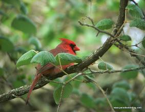 Photo: Northern Cardinal, upper Texas Coast