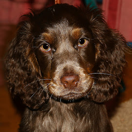 Louie by Chrissie Barrow - Animals - Dogs Puppies ( puppy, cocker spaniel, brown, dog, pet, roan )