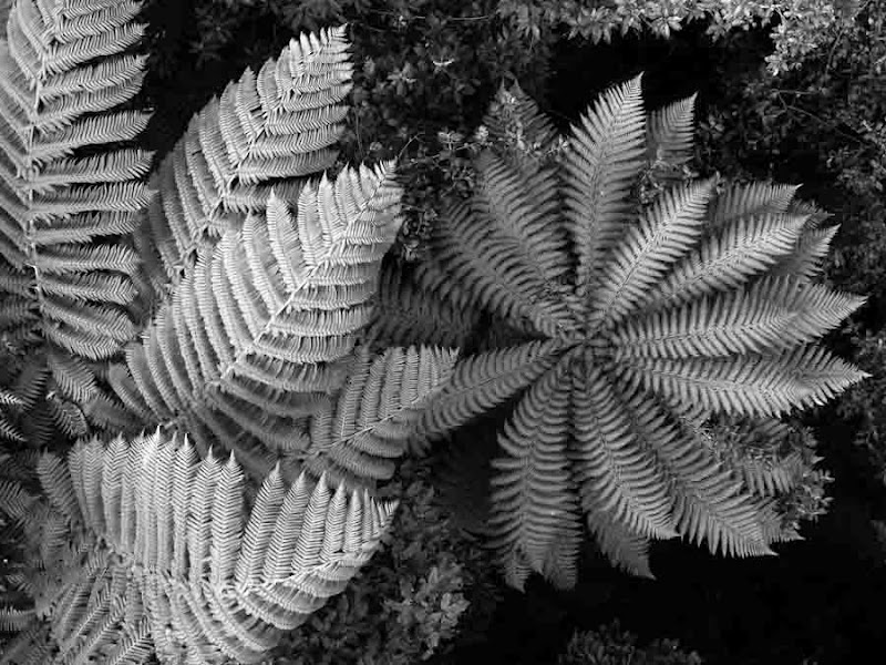Photo: Tree ferns viewed from above on  one of the river crossings make an interesting pattern