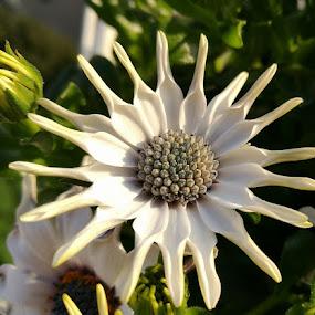 Osteospermum by Bozica Trnka - Flowers Single Flower ( blossom, white, nature, osteospermum, flower,  )
