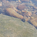 unidentified fish
