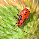 Black and Red Bug