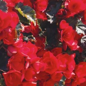 Image result for begonia rieger vermillion red