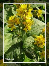 Photo: Lysimaque commune, Lysimachia vulgaris