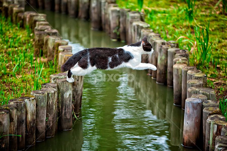 Challenger by Nyoman Sundra - Animals - Cats Playing ( cat, mizumoto, tokyo, animal.playing, jump )