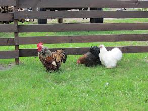 Photo: Darsūniškyje aplankėme ūkininką, auginantį kudlotas vištas su gaidžiais...