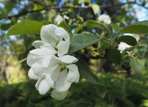 Photo: Vanhojen rakennusten pihapiirissä on myös vanhoja omenapuita ja vaikka raparperipuskia.