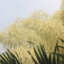 Talipot Palm/ Kudappana
