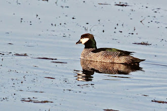 Photo: Green Pygmy-Goose