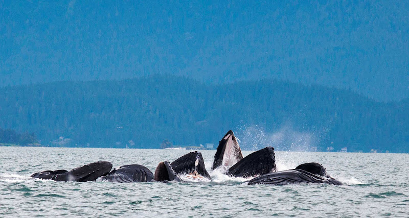 During the summer, you can spot humpback whales engaging in bubble net feeding.