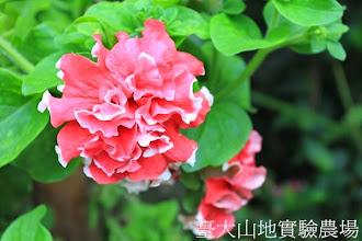 Photo: 拍攝地點: 梅峰-溫帶花卉區 拍攝植物: 重瓣矮牽牛 拍攝日期:2013_07_30_FY
