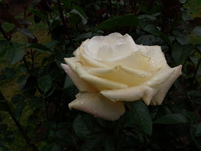 Photo: Rose at Botanical Garden