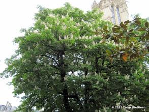 Photo: Hevoskastanja  (Aesculus hippocastanum) kukkii visiittimme aikana kaikkialla Pariisissa.