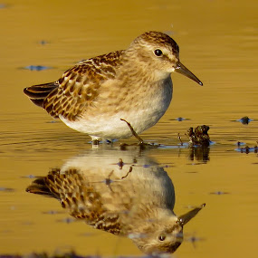 Least Sandpiper  by Nick Swan - Animals Birds ( reflection, shorebird, golden, sandpiper )