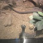 Armenian Viper