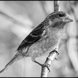 Purple Finch by Dave Lipchen - Black & White Animals ( purple finch )