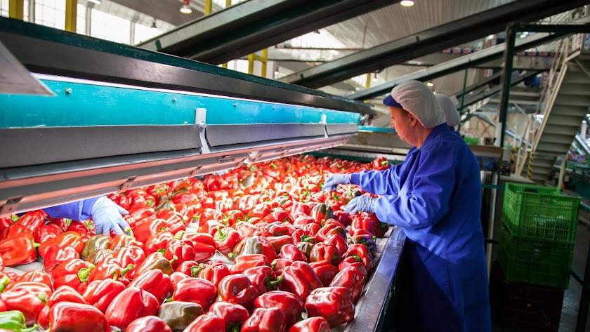 Manipulación  de pimiento rojo en un almacén hortofrutícola almeriense.