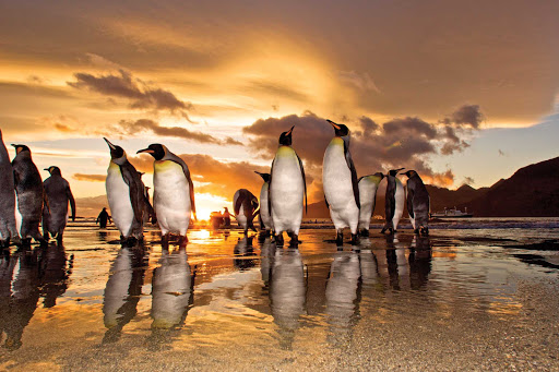king-penguins-st-andrews-bay.jpg - A group king penguins gather at sunrise on the shore of St. Andrews Bay on  South Georgia during a Lindblad Expeditions tour.