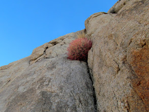 Photo: Cactus growing in a vertical crack