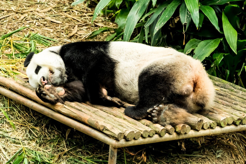 Singapore River Safari Giant Panda2