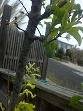 Photo: Plum Tree is a little late this year