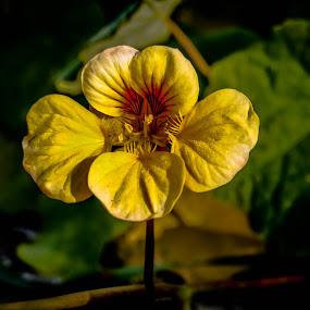Sou amarela by Zulmira Relvas - Flowers Flower Gardens (  )