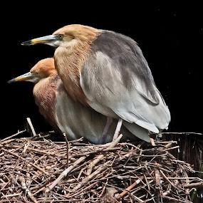 Nesting birds by Wilfredo Garrido - Animals Birds ( nesting birds, bird's nest, birds )