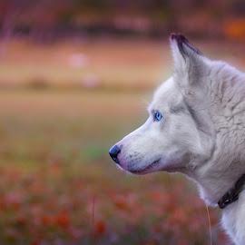 by Ivana Pavičić - Animals - Dogs Portraits