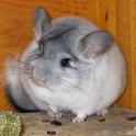 Chinchilla icon