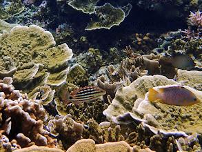 Photo: Lutjanus decussatus (Checkered Snapper), Small Lagoon, Miniloc Island, Palawan, Philippines.