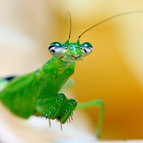 Mantis by Hanif Mohamad - Animals Insects & Spiders