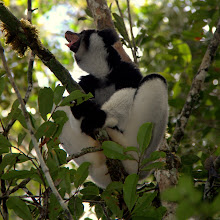Photo: from the largest indri...