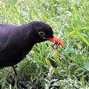 Common blackbird. Mirlo negro