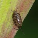 pillbug isopod